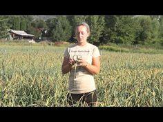 ▶ Harvesting Garlic Scapes at Filaree Garlic Farm - YouTube