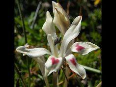 Valentine Flower -- Babiana tubiflora has hearts on its petals Modern Food, Baboon, Gladiolus, Rare Plants, Wild Flowers, World, Hearts, Gardening, Google Search