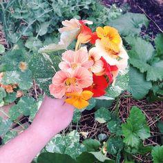 #nasturtium #karlygardens #botanicalinterests #vscocam