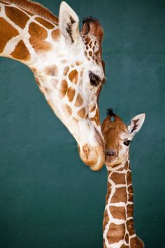 New baby giraffe at Busch Gardens Tampa Bay.