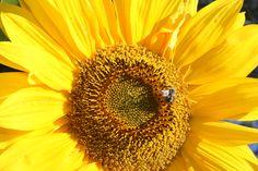 Sunflower along Capitola River Walk River Walk, California Beach, Ocean, Lifestyle, Santa Cruz, The Ocean, Sea