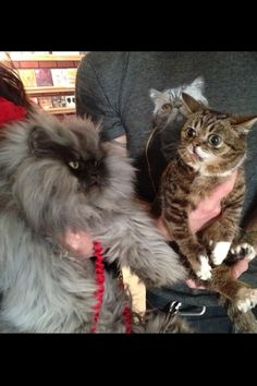 Lil Bub And Colonel Meow Met In Real Life Today