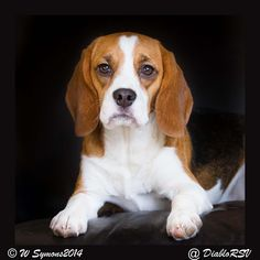 This is one  beautiful beagle