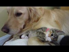 Funny Foster Kitten On Big Dog's Leg - Playing & Cuddling - 4 Weeks Old - YouTube