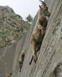 Mountain goats will go to unbelievable lengths just for a lick of salt.  : Facebook/JornalCiencia