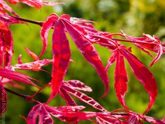 Acer palmatum 'Shirazz' SHIRAZZ JAPANESE MAPLE deciduous tree sun to part shade Mature size: Upright FOLIAGE: Variegated Green crimson-pink with white margins FALL COLOR: Crimson red to scarlet Heat tolerant Moist well drained soil Emerging spring color Acer Palmatum, Deciduous Trees, Japanese Maple, Spring Colors, Scarlet, Size 10, Sun, Fall, Green
