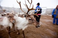 Large reindeer (Rangifer Tarandus) during herding, Finnmark, Norway