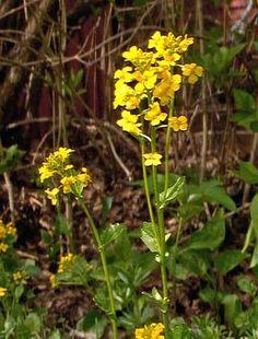 Peltokanankaali, Barbarea vulgaris - Kukkakasvit - LuontoPortti