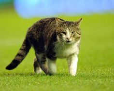 On the hallowed turf that is Anfield. The 'Anfield Cat' is seen here as the sporty kitty runs across the pitch during the Barclays Premier League match between Liverpool and Tottenham Hotspur at Anfield on February 6, 2012 in Liverpool, England.