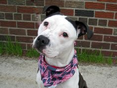 Brooklyn Center  DUKE - A0998581  MALE, WHITE / BLACK, PIT BULL MIX, 3 yrs STRAY - STRAY WAIT, NO HOLD Reason STRAY Intake condition NONE Intake Date 05/03/2014, From NY 11234, DueOut Date 05/07/2014, Medical Behavior Evaluation GREEN https://www.facebook.com/photo.php?fbid=797639933582221&set=a.617941078218775.1073741869.152876678058553&type=3&theater