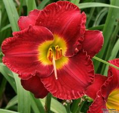 """""""christmas wishes"""" daylily (evergreen)"""