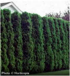 This is what our evergreen borders in our yard should look like.... I'm trying to learn how to cut them back so they'll grow like this.