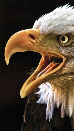 American Bald Eagle art portraits, photographs, information and just plain fun. Also see how artist Kline draws his animal art f… Love Birds, Beautiful Birds, Animals Beautiful, Eagle Pictures, Animal Pictures, Eagle Images, Aigle Animal, Rapace Diurne, Photo Animaliere