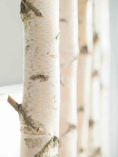 ★★★★★ Weißen Birkenstamm kaufen für Ihre Inneneinrichtung ✔ getrocknet & käferfrei ✔ kostenloser Zuschnitt ✔ internationaler Versand & große Mengen ✔