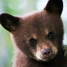Facts and Information about Black Bear Cub. Black Bear Cub Description, Behavior, Feeding and Reproduction. Grizzly Bear Cub, Baby Bear Cub, Bear Cubs, Panda Bear, Polar Bear, Bears, Black Bear, Brown Bear, Photo Ours