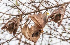 Dwarf epauletted fruit bats.www.batsbirdsyard.com = bat houses.