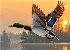Mallard in flight Wildlife Paintings, Wildlife Art, Animal Paintings, Bird Drawings, Animal Drawings, Art Canard, Duck Pictures, Duck Art, Hunting Art