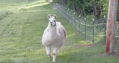 When this bro got real excited about cuddles. | 17 Times Llamas Were Majestic