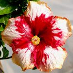 Exotic, tropical, hybrid, red flowering hibiscus plants for sale.