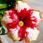 Hibiscus 'Corazon'