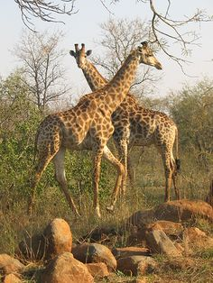 Giraffes in Kruger National Park, South Africa. Kruger National Park, African Animals, African Safari, Lonely Planet, Out Of Africa, Game Reserve, Mundo Animal, Jolie Photo, Fauna