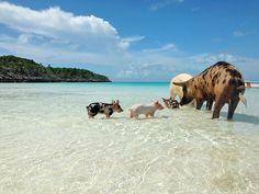 Pig-Ocean-Island.