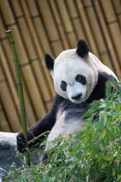 """""""Kung Fu Panda"""" Da Mao at the Toronto Zoo."""