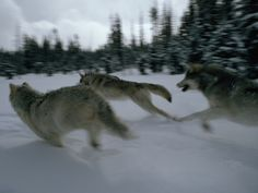 Gray Wolves in Pursuit of Game Photographic Print by Jim And Jamie Dutcher at Art.com