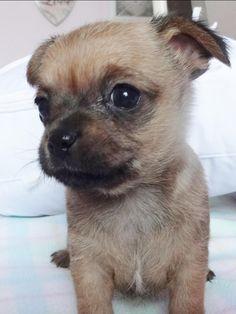 Shi Chi puppy