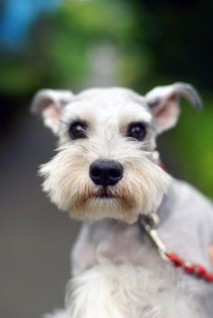 Miniature Schnauzer by Terry