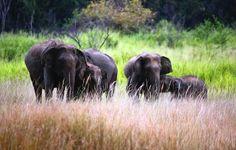 The Sri Lankan elephant is one of three recognised subspecies of the Asian elephant. The 2011 elephant census estimated a population of Sri Lanka Holidays, 10 Interesting Facts, Asian Elephant, Big Animals, Phuket Thailand, World's Most Beautiful, Fishing Villages, Central Asia, Travel Around The World