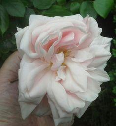 Rosa Astrid Lindgren is een struikroos en staat in de Kruidentuin. Aangeplant in 2012.