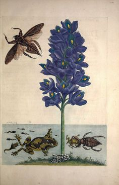 Eichhornia crassipes with Lethocerus grandis, Phrynohyas venulosa, tadpoles, and eggs. Transfer engraving, hand-colored. Merian, M.S., De metamorphosibus insectorum Surinamensium, of te verandering der Surinaamsche insecten, t. 56 (1714) From the Swallowtail Garden Seeds collection of botanical photographs, illustrations, and paintings. We hope you will enjoy these images as much as we do.