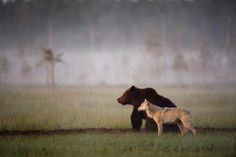Photographer Lassi Rautiainen captured the profound partnership between a she-wolf and a brown bear in the wilds of northern Finland. Beautiful Creatures, Animals Beautiful, Beautiful People, Beautiful Wolves, Beautiful Moon, Beautiful Things, Beautiful Pictures, Funny Animals, Cute Animals