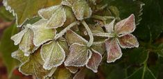 CUTTING BACK HYDRANGEAS AFTER FROSTING IS GOOD? Dried Hydrangeas, Hydrangea Care, Lawn And Garden, Smooth Hydrangea, Tree Care, Propagating Hydrangeas, Perennials, Flowers, Free Plants