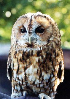 Tawny owl (Strix aluco) Owl Photos, Owl Pictures, Beautiful Owl, Animals Beautiful, Beautiful Creatures, Reptiles, Owl Sanctuary, Strix Aluco, Nocturnal Birds