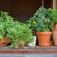 Herbs work harder than your ordinary houseplants. Not content at just being decorative, they bring fragrance to the room and flavor to the food. As a bonus, they often repel insects. There are plenty reasons for growing herbs inside.
