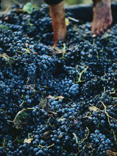 grape stomp in Tuscany