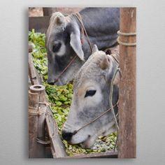 cows in the farm by Ornella Bonomini Wall Art Prints, Canvas Prints, Cows, Canvas Art, Wall Decor, Posters, Fine Art, Metal, Animals