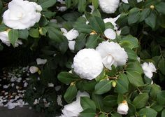 The first living camellias seen in England were a single red and a single white, grown and flowered in his garden at Thorndon Hall, Essex, by Robert James Pure White, now that is just stunning.............