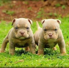 Can dogs have down syndrom? Down syndrome dog and puppy information: causes, symptoms, caring & expectations Pit Puppies, Cute Dogs And Puppies, Bulldog Puppies, Doggies, Cute Funny Animals, Cute Baby Animals, Down Syndrome Dog, Beautiful Dogs, Animals Beautiful