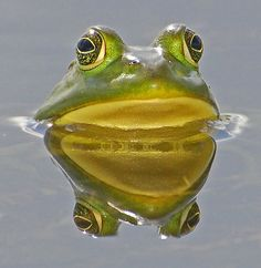 Reflection of a frog