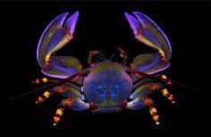Petrolisthes violaceus Crab