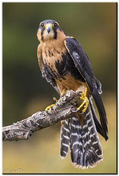 Aplomado Falcon - Taken at Raymond Barlow Birds in Flight Workshop. Shot in a controlled environment at the Canadian Raptor Conservancy. Thanks Raymond Barlow for this experience!