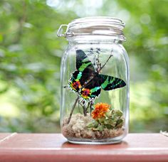 Gift for Nature Lover, Butterfly Terrarium Kit, Sunset Moth, Madagascar Butterfly, Mother's Day, DIYer, Kits and Tutorials