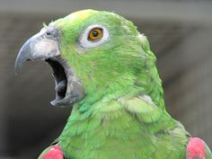 Why Parrots Scream And How To Stop It - http://www.parrotshop.org/why-parrots-scream-and-how-to-stop/