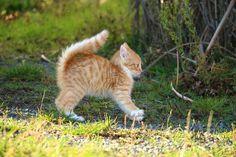 Katze, Kätzchen, Katzenbaby, Katzenjunge, Getigert