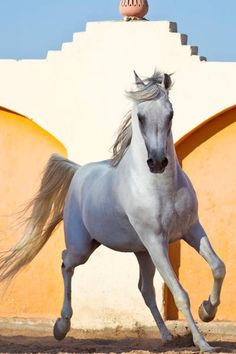 Andalusian Spanish Horse ,The Andalusian, also known as the Pure Spanish Horse or PRE (Pura Raza Española), is a horse breed from the Iberian Peninsula, where its ancestors have lived for thousands of years.
