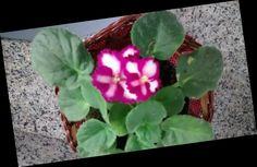 Violetas humildes. Foto minha.