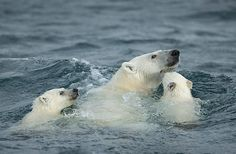 MOM SWIMMING WITH HER TWO BABY'S POLAR BEAR - (IJsbeer)